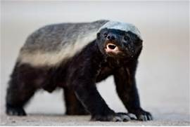 honey badger 1