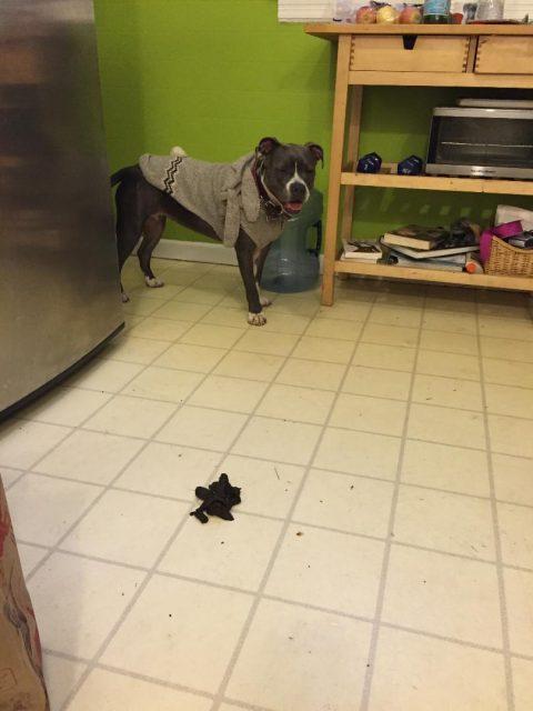 Pitbull loves to poop inside